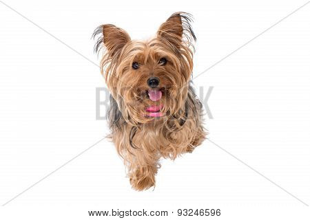 Portrait Of Yorkshire Terrier With Pink Collar
