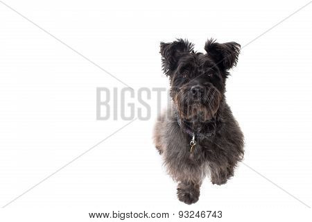Portrait Of Small Black Terrier In Studio