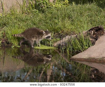 Raccoon Crossing Lake