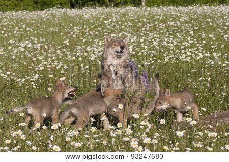 Frisky Wolf Pups