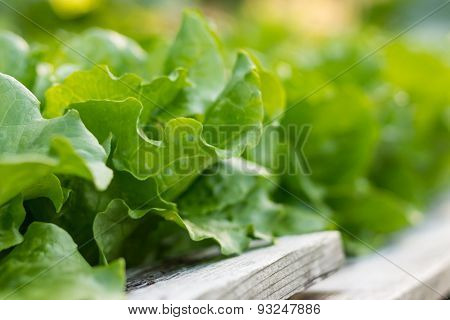 Lettuce Growing in Community Garden