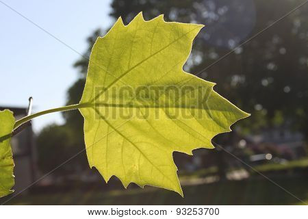 Young maple leaf (Acer), lightflooded and shinethrough