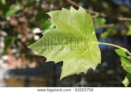 Young maple leaf (Acer)