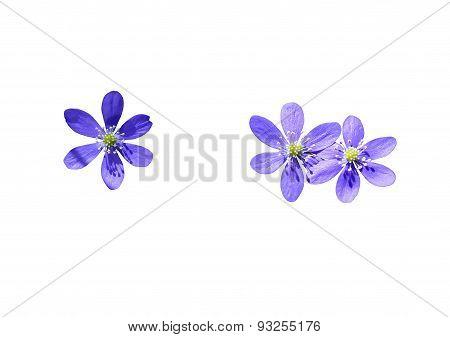 Blue wildflowers Hepatica