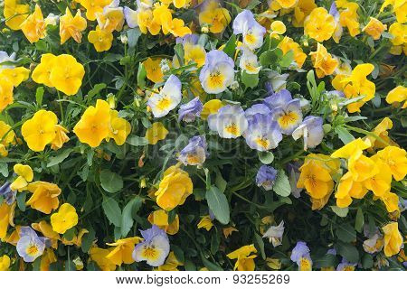 Yellow and blue or purple pansy flowers