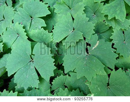 Vanilla Leaf - Achlys triphylla