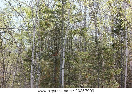White Birch and Conifer Trees at Fort Point State Park, Maine in Spring