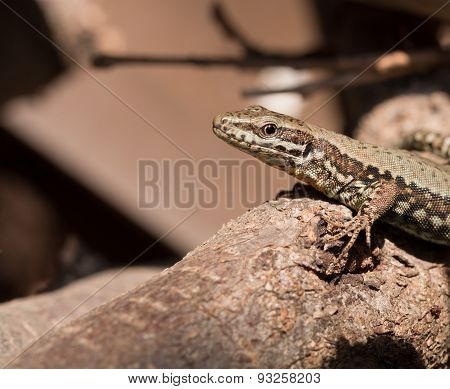 Reptile - Lizard