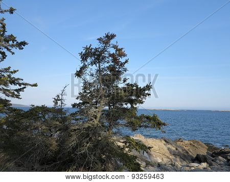 Pine or Conifer Tree with Penobscot Bay and Rocky Main Coast at Twilight