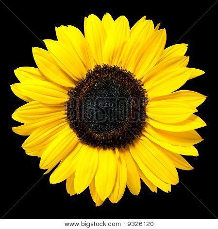 Beautiful Fresh Yellow Sunflower Flower Isolated On Black