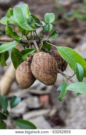 Sapodilla Fruits On Tree
