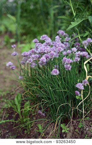 Flowering garden plant a shallot
