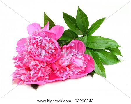 The Common Peony (Paeonia officinalis) is used in convulsions and spasmodic nervous affections, such as epilepsy, etc. Traditional herbal medicine.