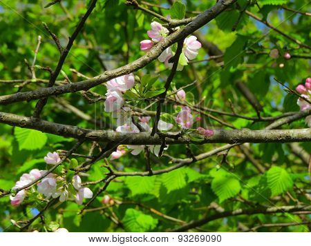 The Blossoming Apple-tree