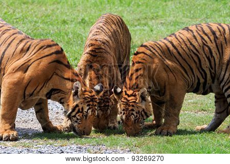Three  Of  Bengal Tiger In Field