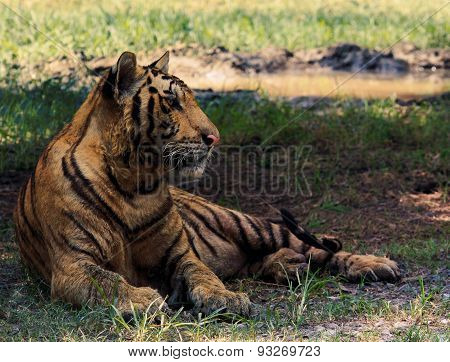 inchinese tiger lying relaxing on field