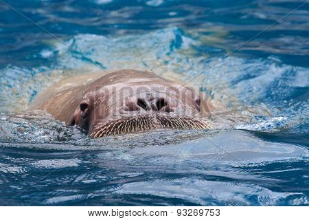 Close Up Face Of Male Walrus Swiming In Deep Sea Water