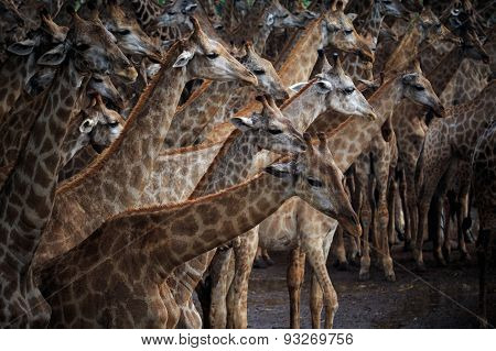 Flock Of Giraffe In Wild