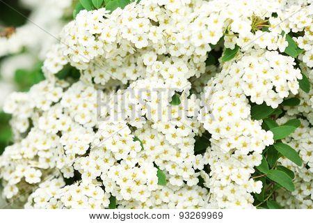 White flowers of blooming rowan tree, outdoors