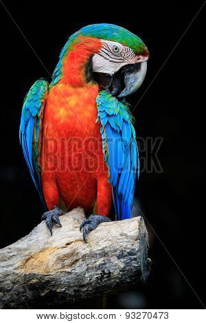 Close Up Beautiful Of Scarlet Macaw Birds Perching On Dry Tree Brand Against Dark Background
