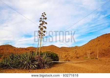 Almeria Cabo de Gata agave flowers in desert at Spain