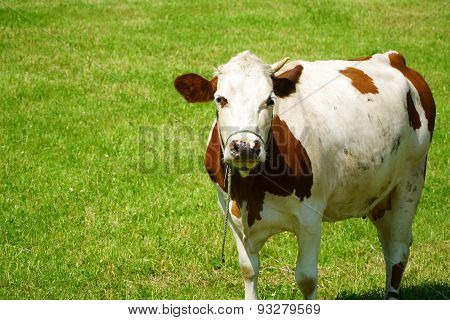 Dairy Cow On A Pasture