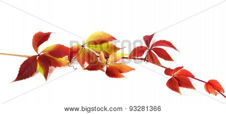 Red Autumn Branch Of Grapes Leaves