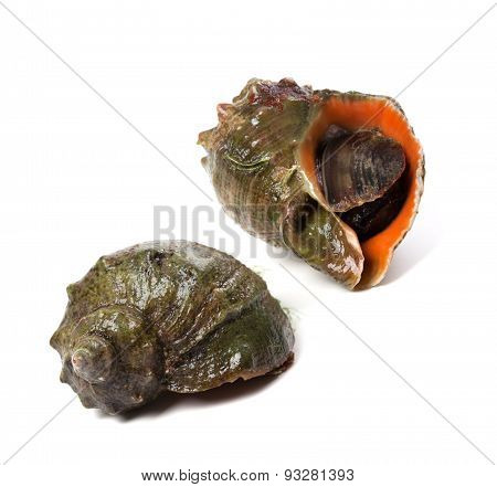 Two Veined Rapa Whelk