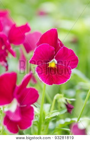 Field Of Red Pansy Flowers