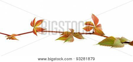 Multicolor Autumn Twig Of Grapes Leaves On White Background