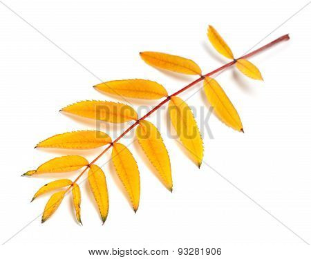 Yellow Autumn Rowan Leaves