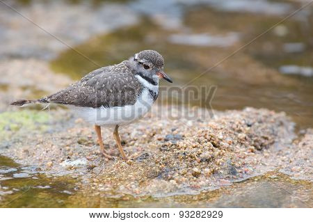 Small Three Banded Plover Wading On The Muddy Shore Of Pond