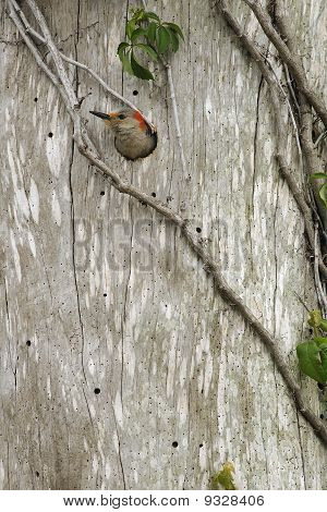Red Bellied Woodpecker Emerging From The Nest