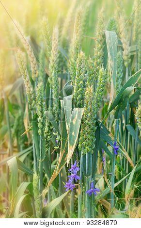 Green wheat field and purple flower
