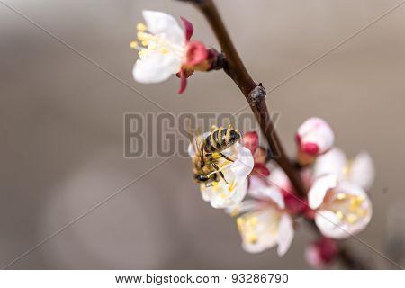 Peach Blossom At Spring