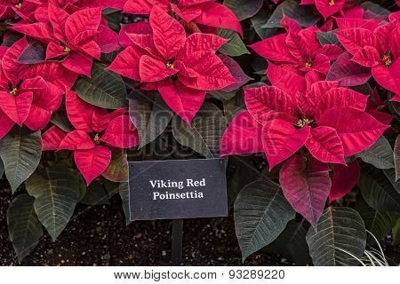 Viking Red Poinsettia