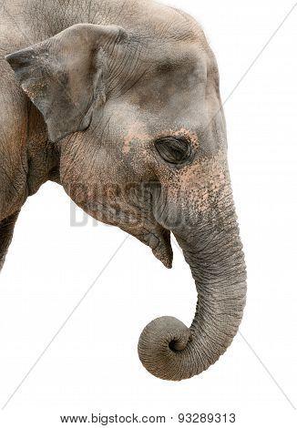 Portrait Of An Asian Elephant