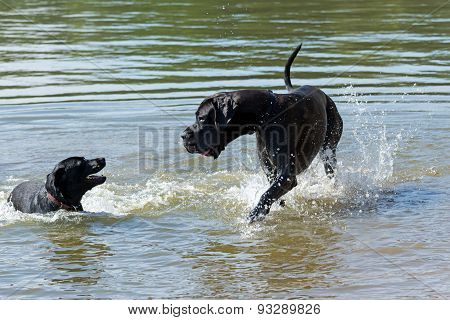 Great Dane Is Playing In The Water