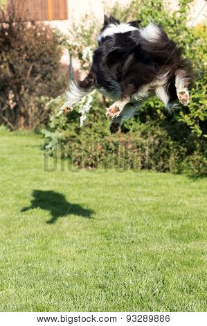 Border Collie Is Jumping And Catching Its Shadow