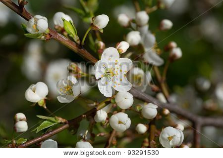 Cherry Branch With Flowers On A Green Background Close Up