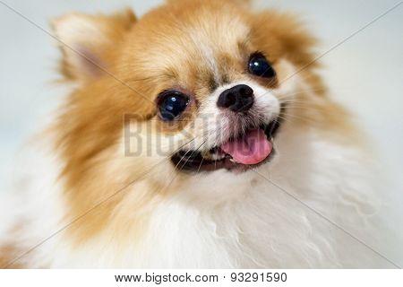 Cute pomeranian smiling