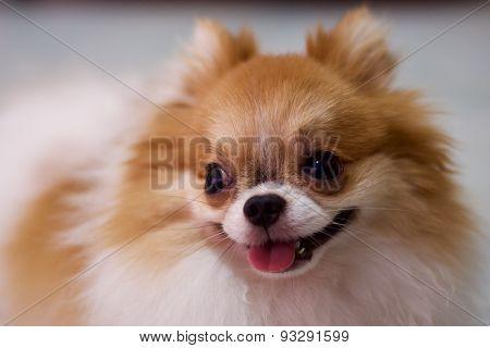 cute parti Pomeranian