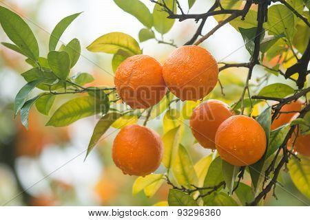 Ripe mandarines