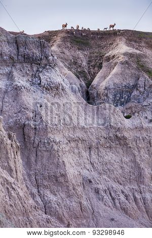Bighorn Sheep Herd On Hilltop