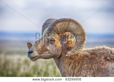 Male Bighorn Sheep With Horns