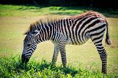 picture of eat grass  - full body and shown beautiful stripe of young zebra eating green grass in open field - JPG