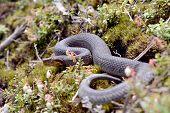 image of snake-head  - Small snake - JPG