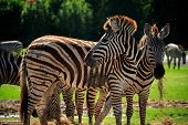 foto of wilder  - wild zebra standing in green grass field against beautiful dusky sky use for wild life and animals in africa safari wilderness - JPG