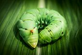 stock photo of green caterpillar  - Big sphinx caterpillar  - JPG