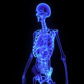 stock photo of digestive  - The skeleton is the body part that forms the supporting structure of an organism - JPG
